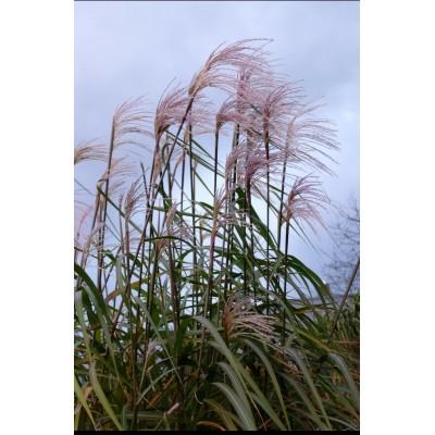 Купить саженцы Пампасная трава   АгроСад