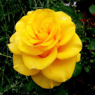 Купить саженцы Роза Керио | АгроСад