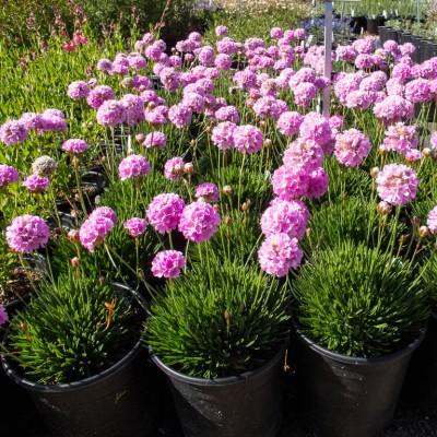 Купить саженцы Армерия крупноцветковая многолетняя | АгроСад