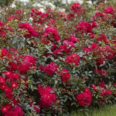 Купить саженцы Роза Ред Фейри | АгроСад
