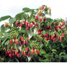 Малина-дерево Таруса