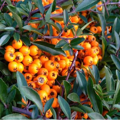 Купить саженцы Пираканта Оранжевая   АгроСад