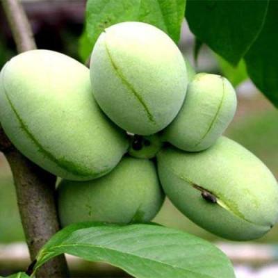 Купить саженцы Азимина трилоба банановое дерево | АгроСад