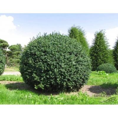 Купить саженцы Самшит вечнозелёный | АгроСад