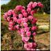 Купить саженцы Плакучие Розы | АгроСад