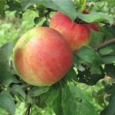 Яблоня Бельфлер-Китайка
