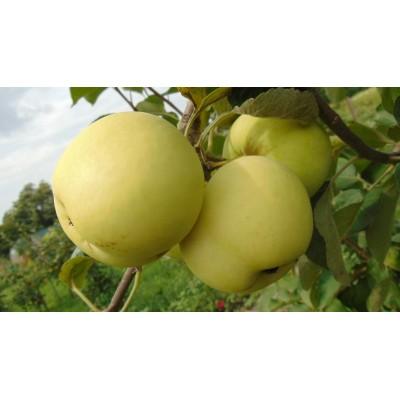 Купить саженцы Яблоня Белый Налив | АгроСад