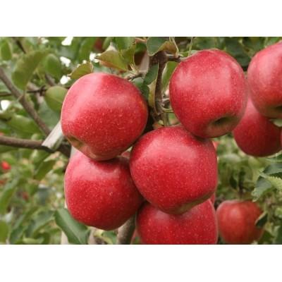 Купить саженцы Яблоня Джонаголд | АгроСад