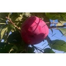 Яблоня Ева