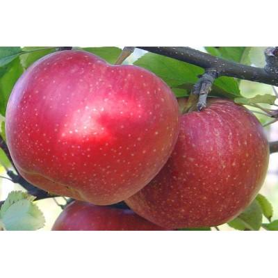 Купить саженцы Яблоня Гала | АгроСад