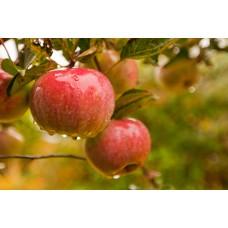 Яблоня Прима
