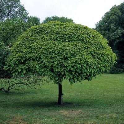 Катальпа дерево