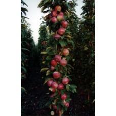 Колоновидная яблоня кв-103