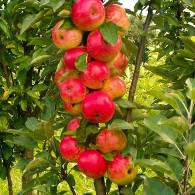 Купить саженцы Колоновидная яблоня Арбат | АгроСад
