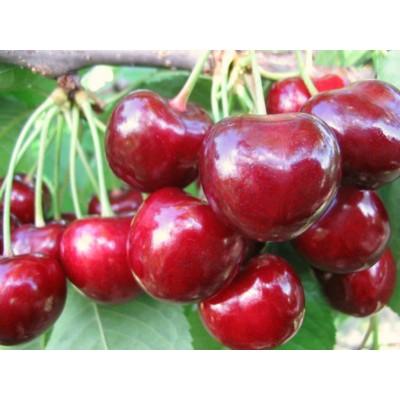 Купить саженцы Черешня Крупноплодная | АгроСад