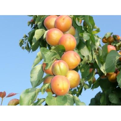 Купить саженцы Колоновидный абрикос Принц март | АгроСад