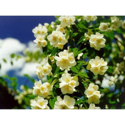 Чубушник, или садовый жасмин