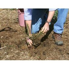 Как посадить розы саженцами