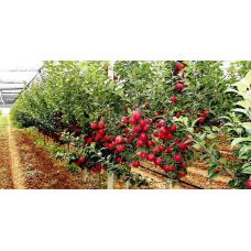 Посадка саженцев яблони