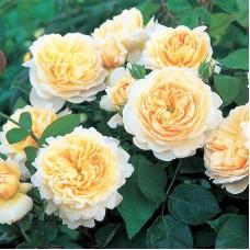 Роза Крокус