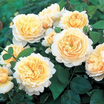 Купить саженцы Роза Крокус | АгроСад