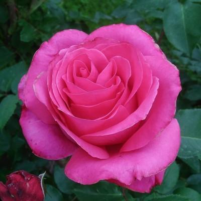 Роза Высоцкого