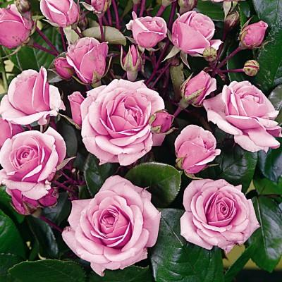Купить саженцы Роза Пинк Диадем | АгроСад