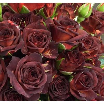 Купить саженцы Роза Чокочино | АгроСад