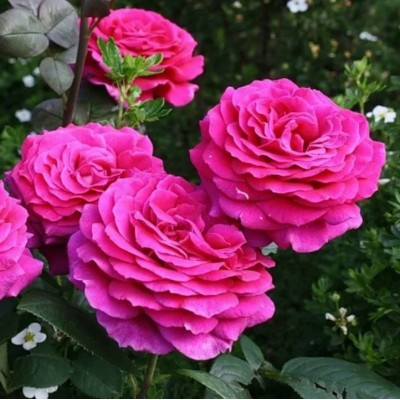 Купить саженцы Роза Биг Пурпл | АгроСад
