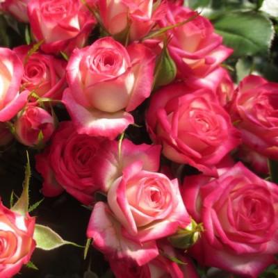 Роза Сафина