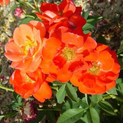 Купить саженцы Роза Оранж Сенсейшн | АгроСад