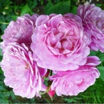Купить саженцы Роза Ина ан Мона | АгроСад