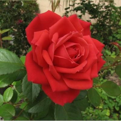 Роза Рок Стар