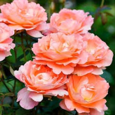 Купить саженцы Роза Вестерленд Плакучая | АгроСад