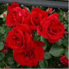 Роза Симпатия Плакучая