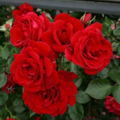 Купить саженцы Роза Симпатия Плакучая | АгроСад
