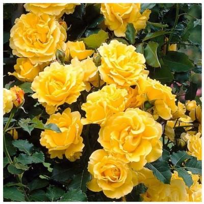 Купить саженцы Роза Голден Шауэрс Плакучая | АгроСад