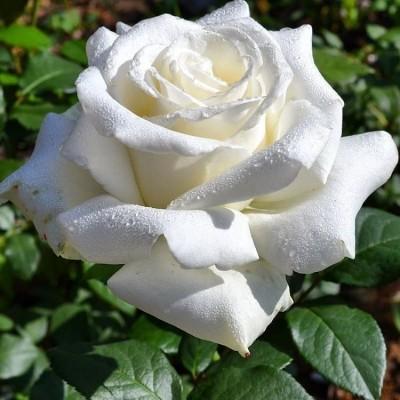 Купить саженцы Роза Боинг Штамбовая | АгроСад