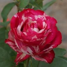 Роза Сатина Штамбовая
