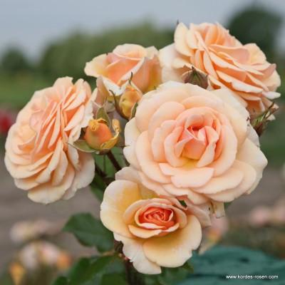 Купить саженцы Роза Пинк Хоней | АгроСад