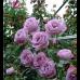 Роза плетистая Блю Мун (Blue Moon)