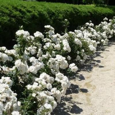 Купить саженцы Роза Сиа Фом | АгроСад