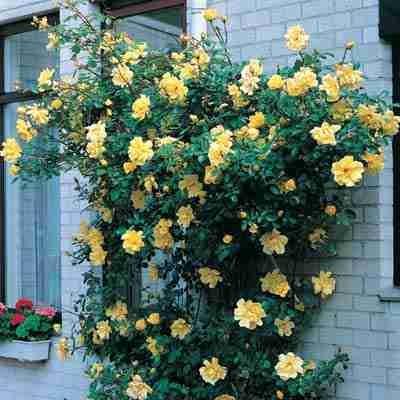 Купить саженцы Роза Голден Шауэрс | АгроСад