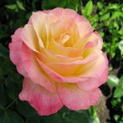 Купить саженцы Роза Глория Дей (Роза Мира) | АгроСад