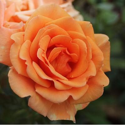Роза Ашрам