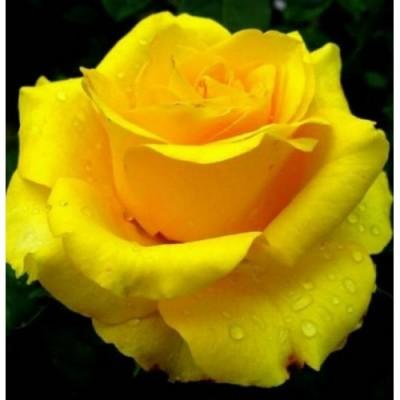 Купить саженцы Роза Ландора | АгроСад