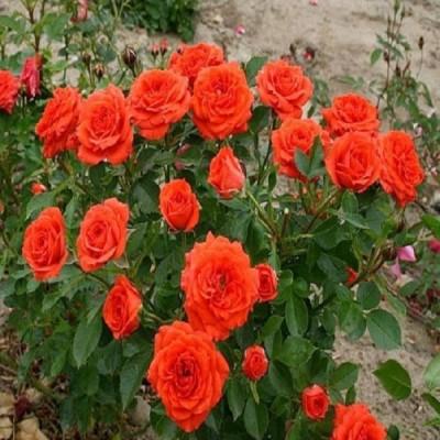 Купить саженцы Роза Оранж Санблейз | АгроСад