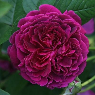 Купить саженцы Роза Вильям Шекспир | АгроСад