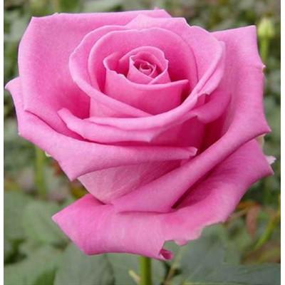Купить саженцы Роза Аква | АгроСад