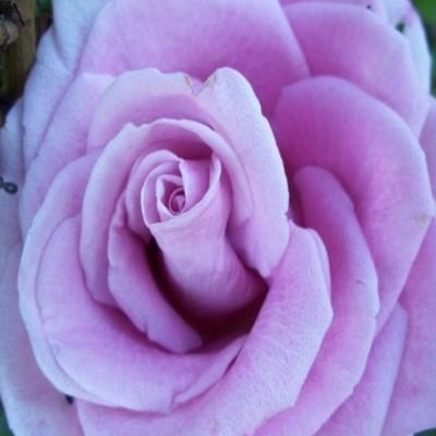 Купить саженцы Роза Блю Парфюм | АгроСад